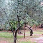 Olive Grove in San Gimignano